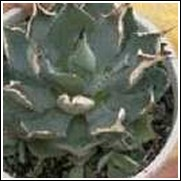 Agave potatorum verschaffeltii