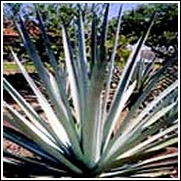 Agave tequilan