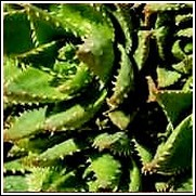 Aloe 'White Teeth'