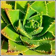 Aloe distans 'Yellow Teeth'