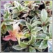 Ardisia japonica 'Variegata' Ground Cover
