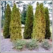 Aurea Nana Arborvitae Shrub