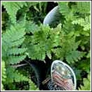 Buy Japanese Tassel Fern Japanese Tassel Ferns