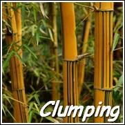 Alphonse Karr Bamboo Plants