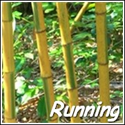 Yellow Groove Bamboo Plants