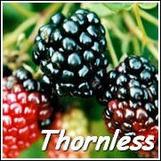 Black Satin Thornless Blackberry Plant