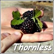 Navaho Thornless Blackberry Plant