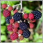 Choctaw Blackberry Plant