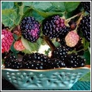 Boysenberry Blackberry Plant