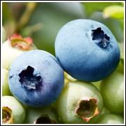Alapaha Blueberry Plant