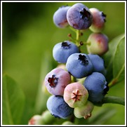 Ochlockonee Blueberry Plant