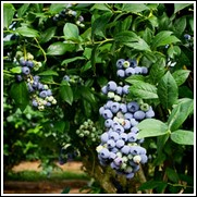 Powderblue Blueberry Plant