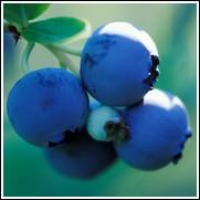 Premier Blueberry Plant