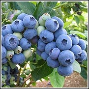 Titan Blueberry Plant