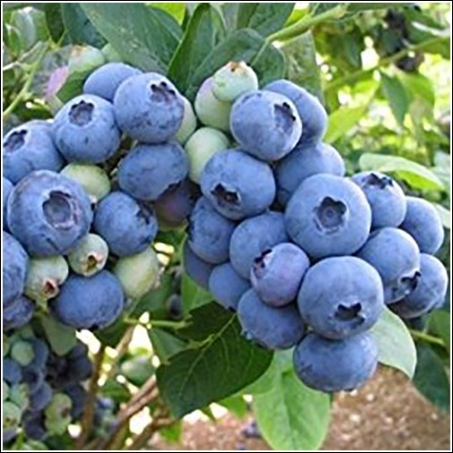 An Blueberry Plant