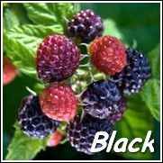 Bristol Black Raspberry Plant