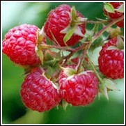 Canby Raspberry Plant