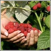 Dorman Raspberry Plant