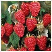 Heritage Raspberry Plant