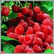 September Raspberry Plant