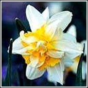 White Lion Daffodil Bulb