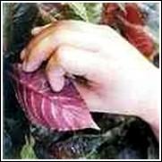 Blackrolee Perennial Plant