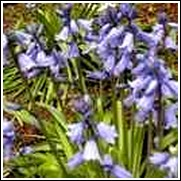 Blue Campanulata Scilla Bulbs