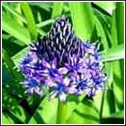 Blue Peruviana Scilla Bulb