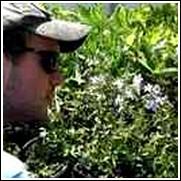 Blue Woodland Phlox -<br>Phlox divaricata