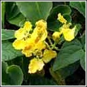 Brazilian Golden Vine