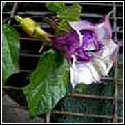Purple Angel Trumpet