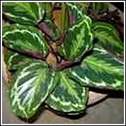 Brushstrokes Ginger Lily Bulb