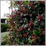 Burford Holly Shrub