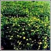 Bush Daisy Perennial