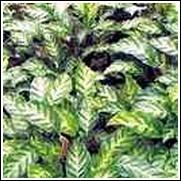 Calthea louisae Perennial Plant