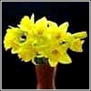 Carlton Daffodil Bulb