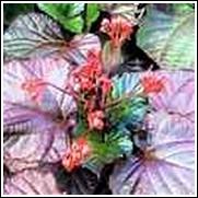 Clerodendrun x 'Bornea Sunset' Perennial Plant