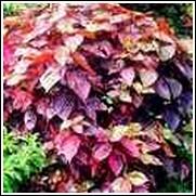 Copper Perennial Plant
