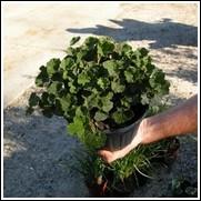 Creeping Raspberry Plant