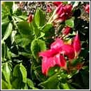 Crimson Red Mandevilla Vine