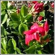 Crimson Red Mandevilla Vine