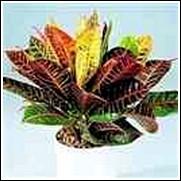 Croton petra Perennial Plant