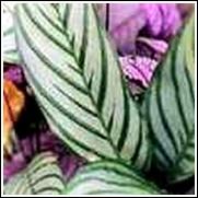 Ctenatha oppenemiana 'Compacta' Perennial Plant