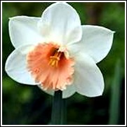 Buy Accent Daffodil Bulbs