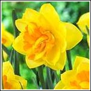 Buy Apotheose Daffodil Bulbs