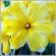 Buy Cassata Daffodil Bulbs