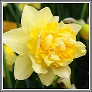 Buy Dick Wilden Daffodil Bulbs