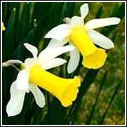 Buy Jack Snipe Daffodil Bulbs