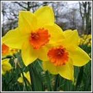 Buy Jetfire Daffodil Bulbs