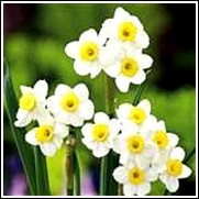 Buy Minnow Daffodil Bulbs